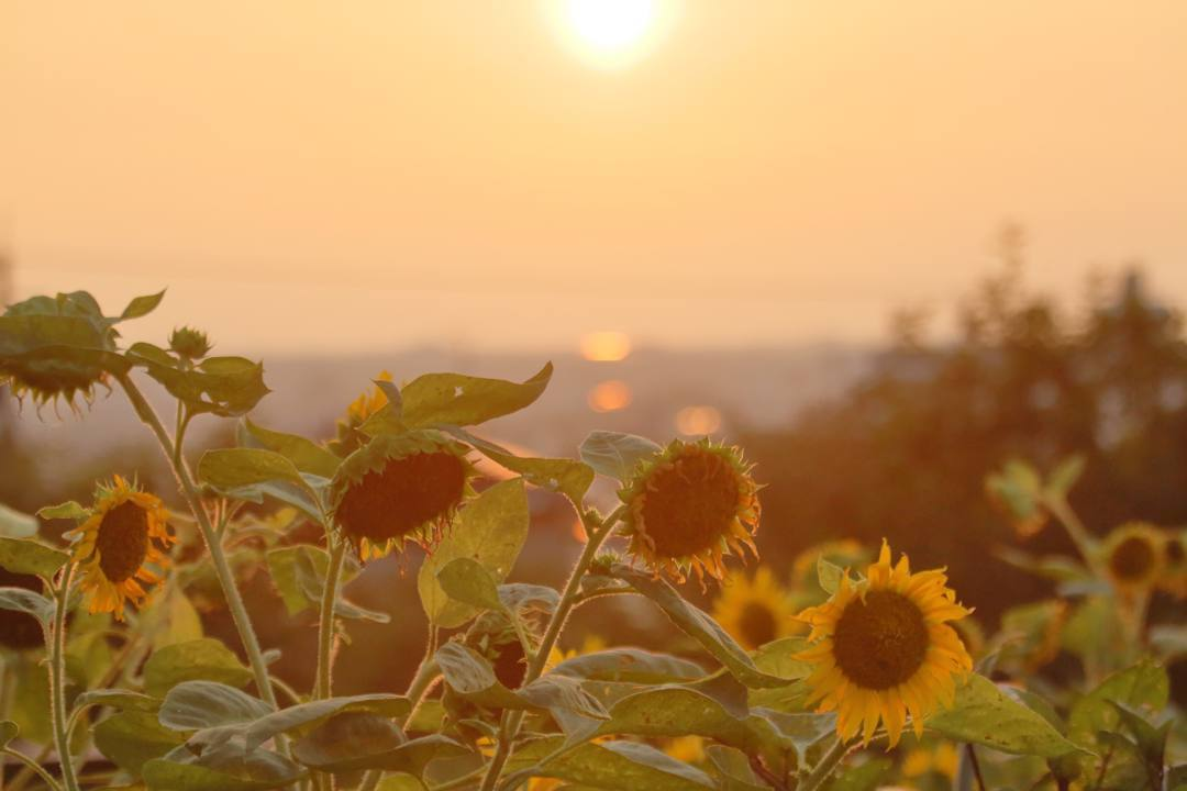 夕焼けと向日葵_e0403850_21030992.jpg