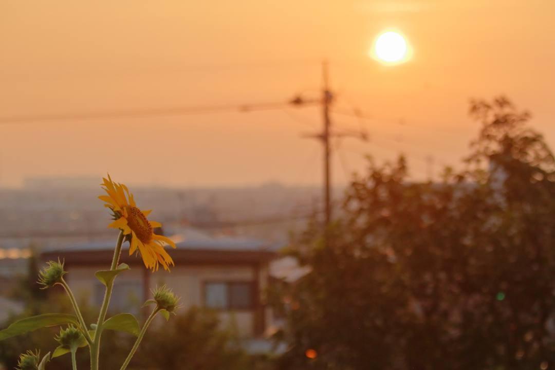 夕焼けと向日葵_e0403850_21031271.jpg
