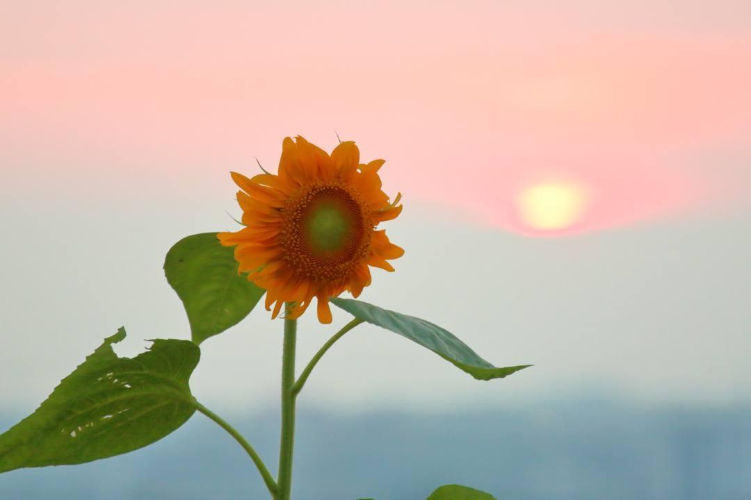 夕焼けと向日葵_e0403850_21032759.jpg