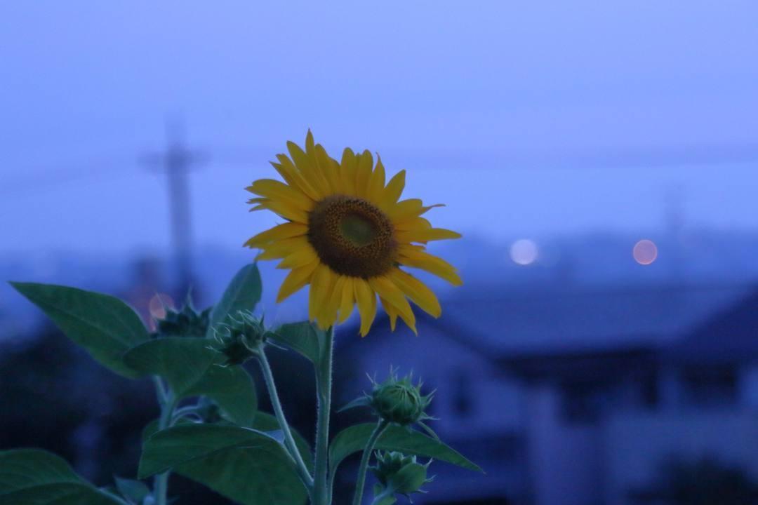 夕焼けと向日葵_e0403850_21035955.jpg