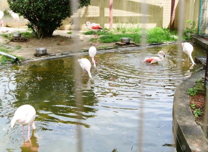 お城の動物園・フラミンゴ  2020-08-07 00:00_b0093754_23101545.jpg