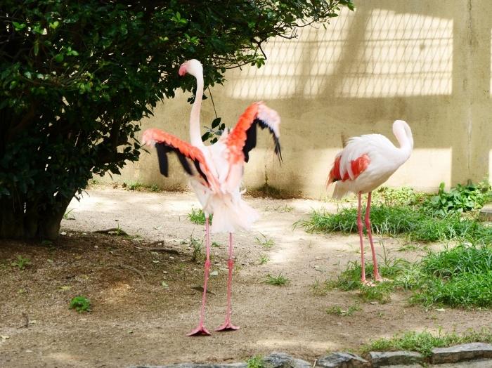 お城の動物園・フラミンゴ  2020-08-07 00:00_b0093754_23103850.jpg