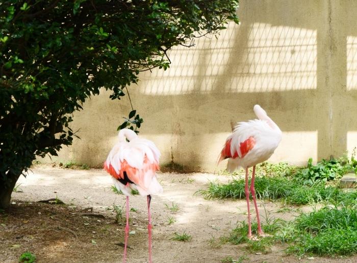 お城の動物園・フラミンゴ  2020-08-07 00:00_b0093754_23104709.jpg