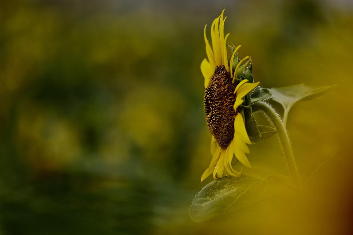 夏の花ヒマワリ_e0071967_1002110.jpg