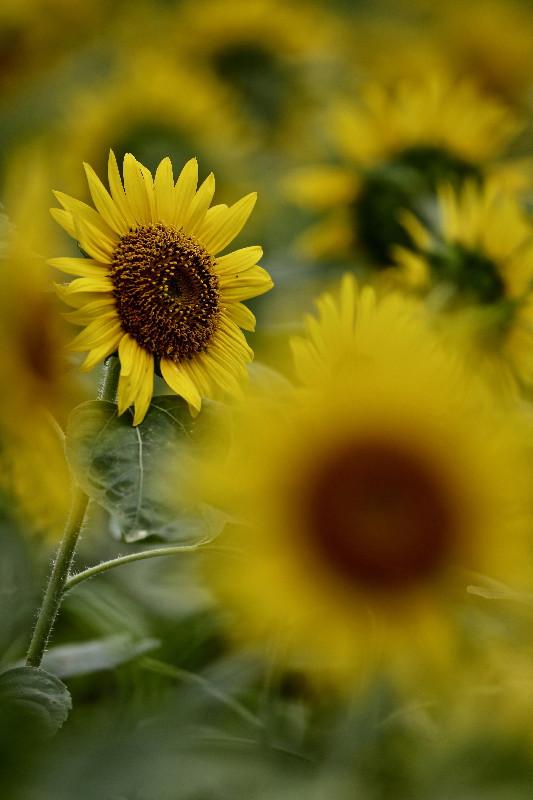 夏の花ヒマワリ_e0071967_100247.jpg