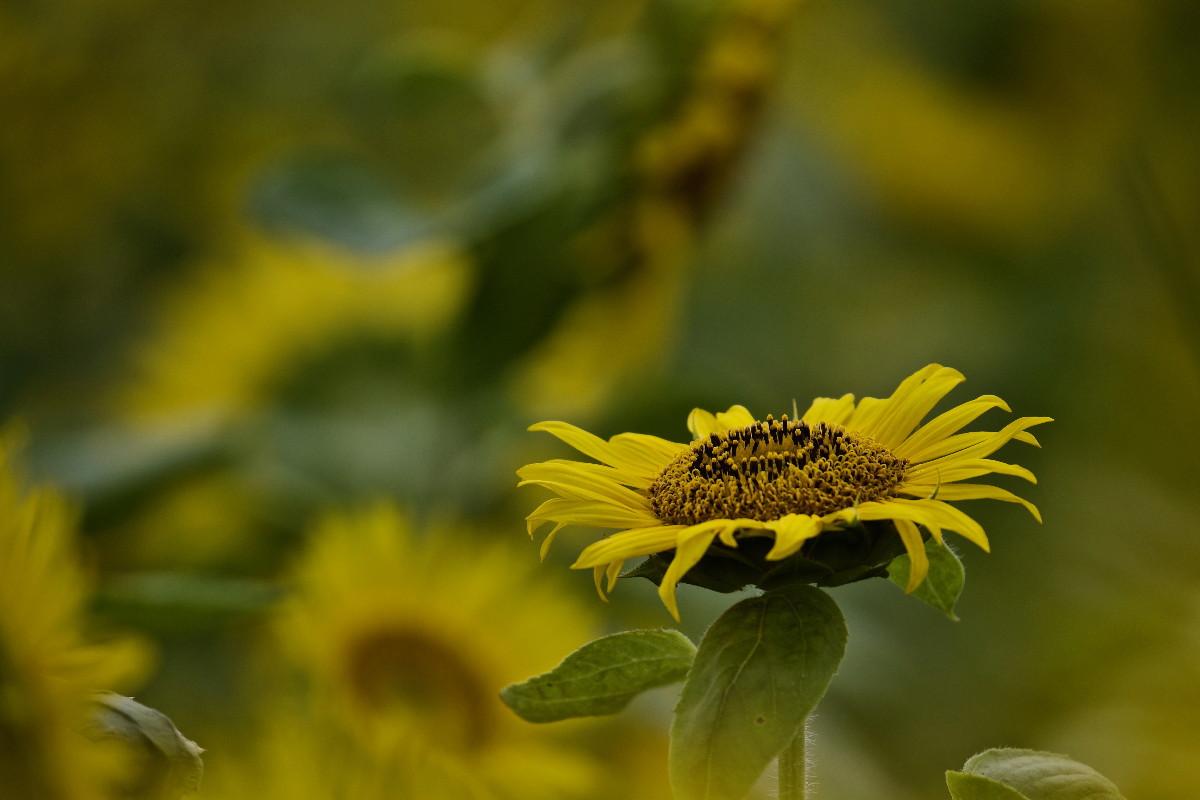 夏の花ヒマワリ_e0071967_100258.jpg