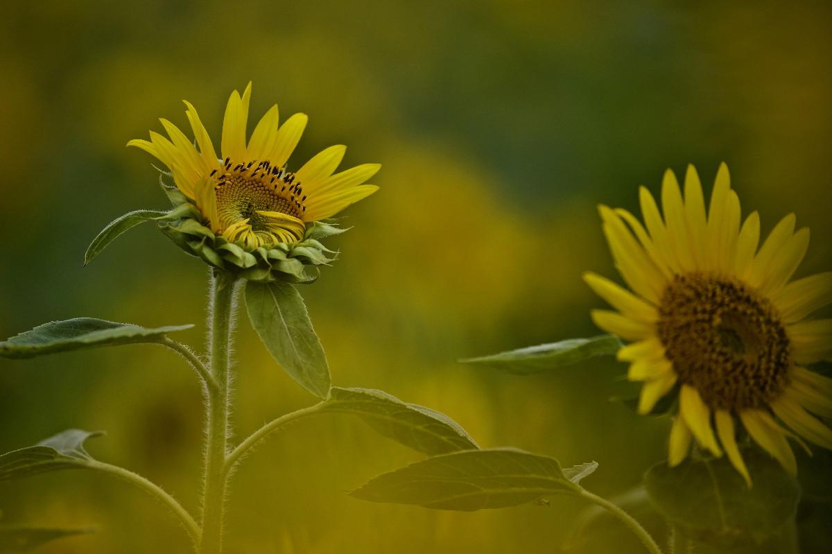 夏の花ヒマワリ_e0071967_1002717.jpg
