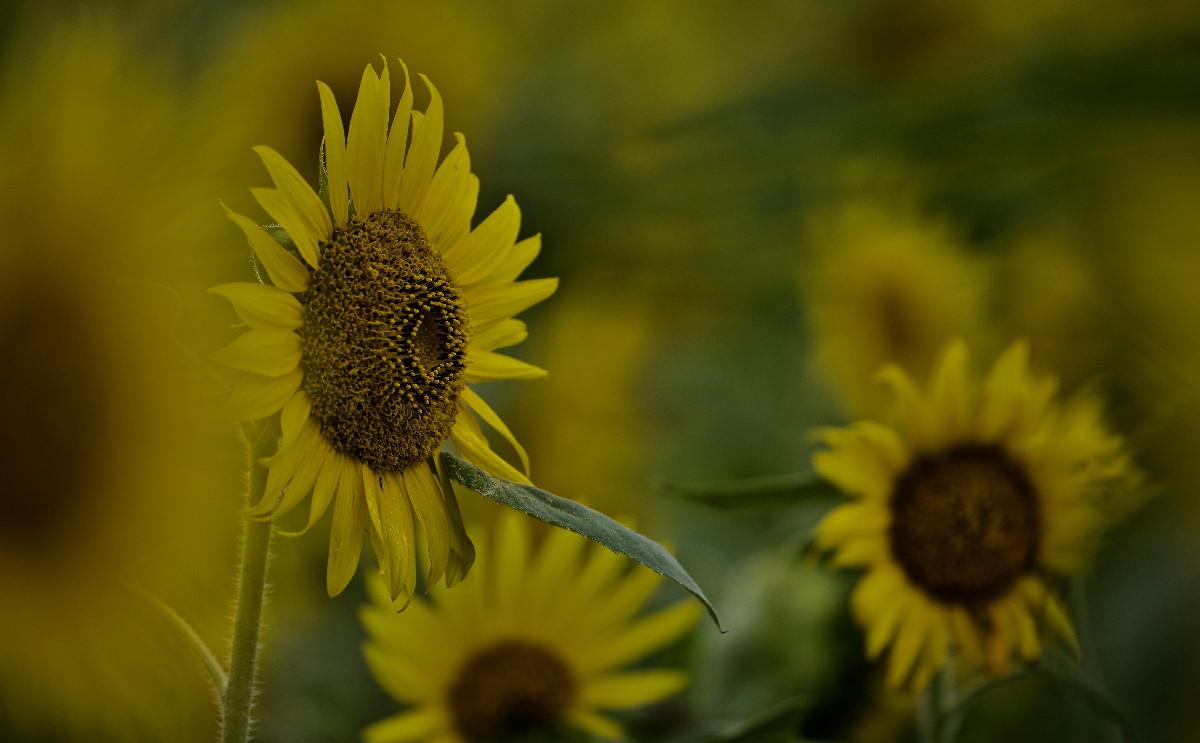 夏の花ヒマワリ_e0071967_1002957.jpg