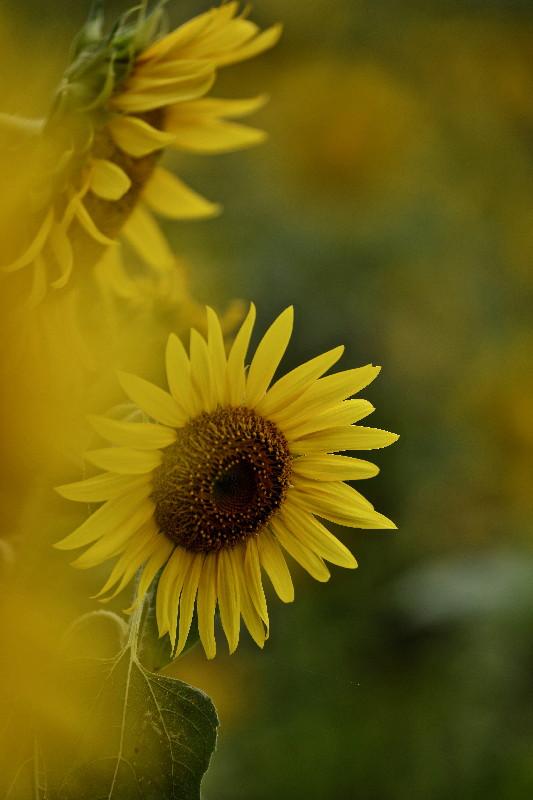 夏の花ヒマワリ_e0071967_1003462.jpg