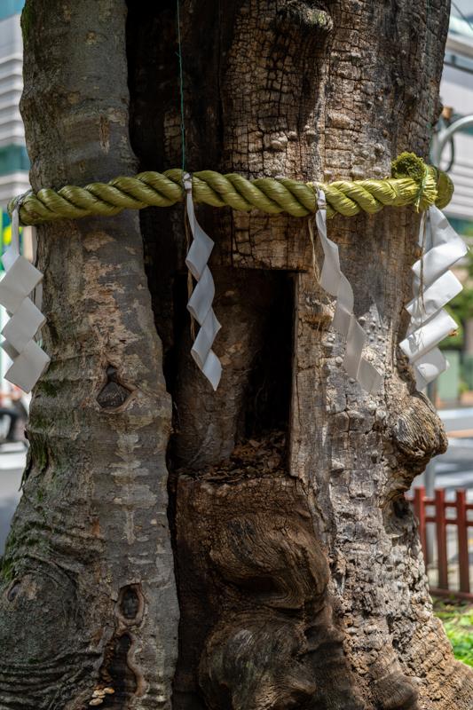 欅 老巨木の手当て_a0261169_15003843.jpg
