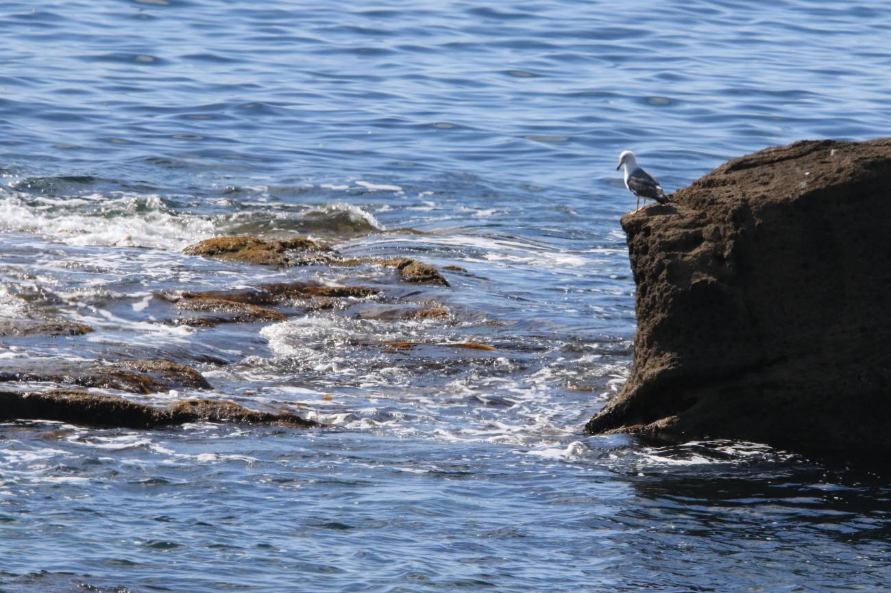 アオバト 後志の海辺で② / 今日のカワセミ_c0360399_17390680.jpg