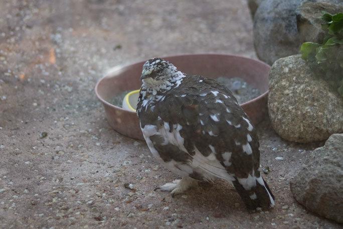 ニホンライチョウと日本の小鳥たち(上野動物園 October 2019)_b0355317_20472364.jpg