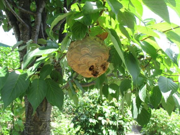 食べ収めになるサクランボ&大きなハチの巣、多分スズメバチ_a0279743_08181561.jpg