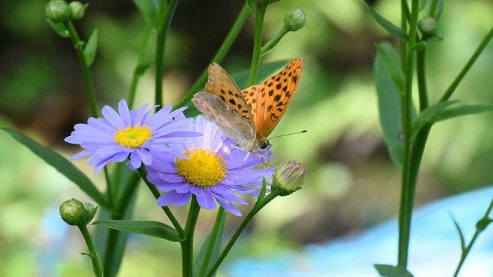 ご近所の蝶達_e0405343_16563701.jpg