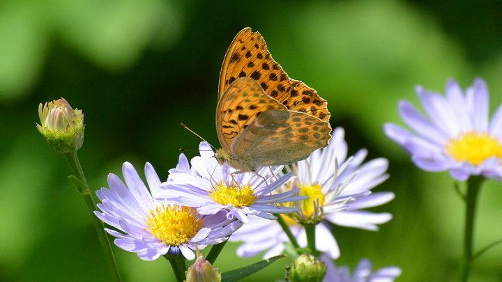 ご近所の蝶達_e0405343_16563884.jpg