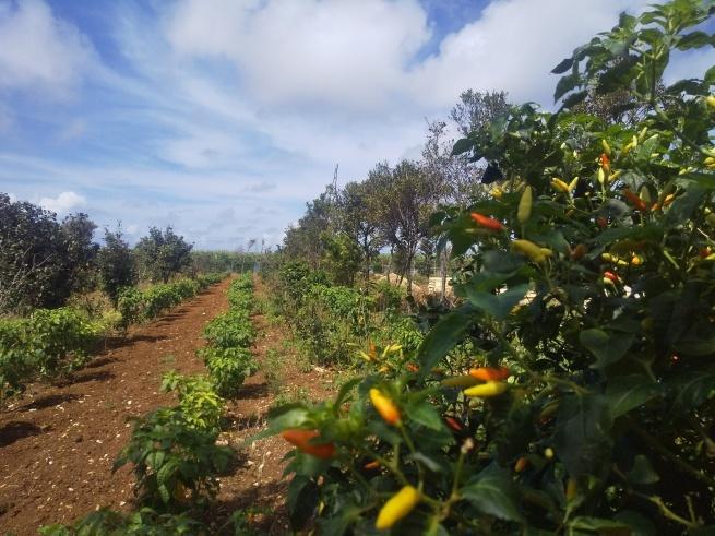 沖縄、宮古島の自然栽培。_f0337851_14581197.jpg