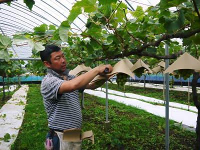 熊本ぶどう 社方園 高級種なしぶどうを大好評販売中!令和2年の社方園の「ぶどう祭り」は中止です!_a0254656_17463030.jpg