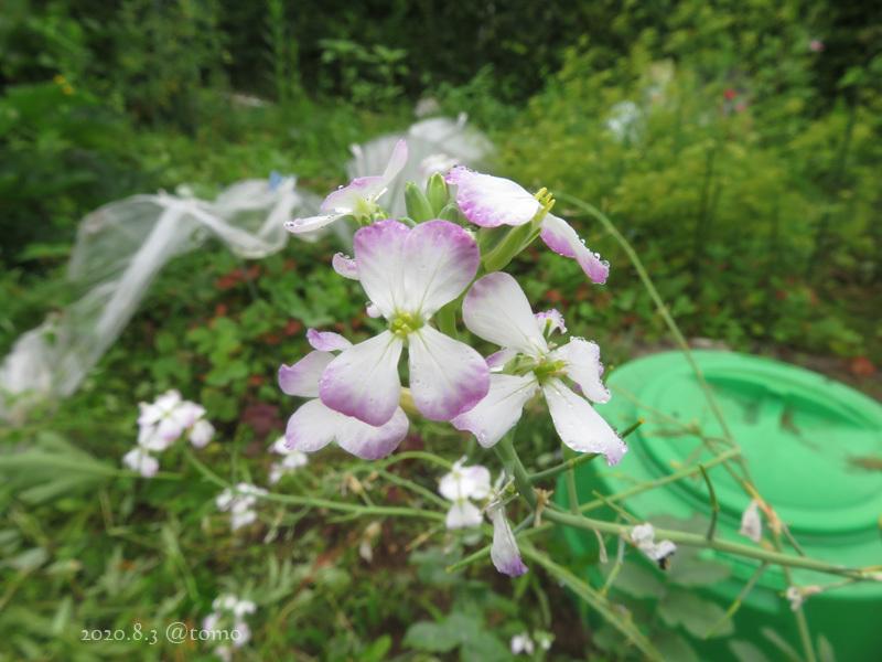 野菜の花、季節の花_f0067179_23012129.jpg