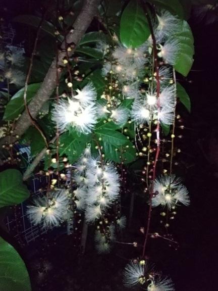 感動!夏の夜に咲く幻の花「サガリバナ」_d0043390_23144378.jpg