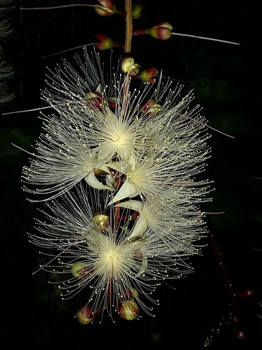 感動!夏の夜に咲く幻の花「サガリバナ」_d0043390_23181973.jpg
