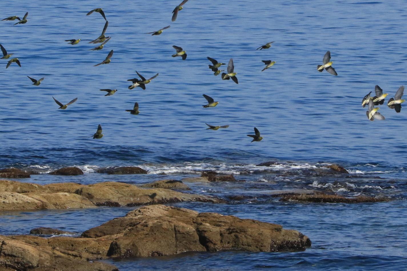 アオバト 後志の海辺で➂_c0360399_17112107.jpg