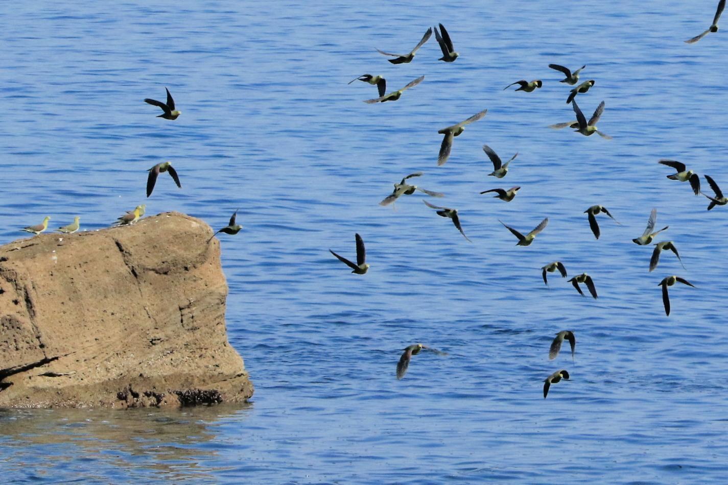 アオバト 後志の海辺で➂_c0360399_17134543.jpg