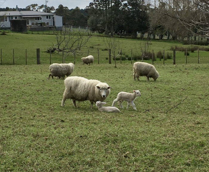 羊の赤ちゃん、順調に育っています/ Lambs Are Doing Well_e0310424_20252334.jpeg