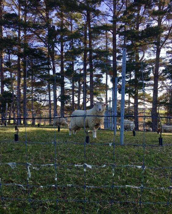 羊の赤ちゃん、順調に育っています/ Lambs Are Doing Well_e0310424_20455447.jpeg