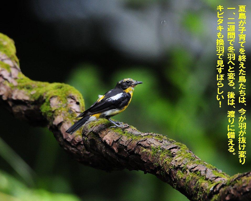 子育てを終えた鳥たちは綺麗な姿で渡って行く!_b0404848_16540301.jpg