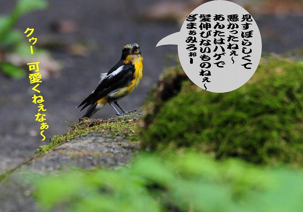 子育てを終えた鳥たちは綺麗な姿で渡って行く!_b0404848_16541500.jpg