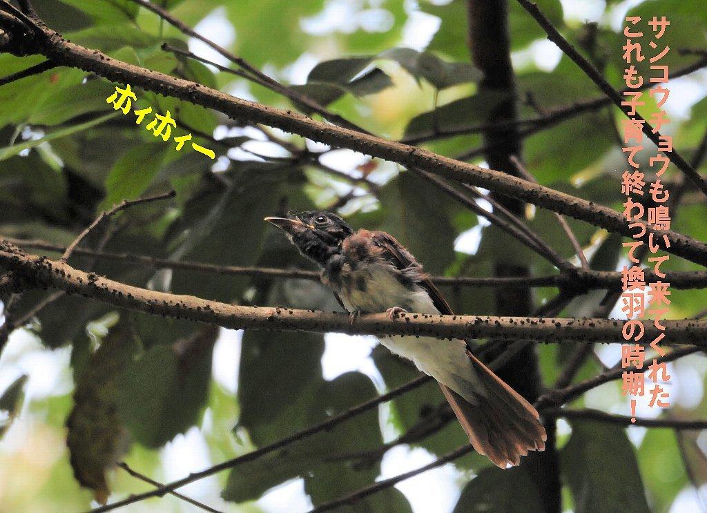 子育てを終えた鳥たちは綺麗な姿で渡って行く!_b0404848_16542453.jpg