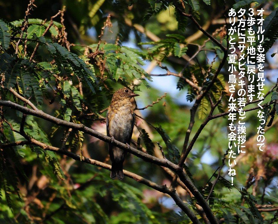 子育てを終えた鳥たちは綺麗な姿で渡って行く!_b0404848_16543116.jpg