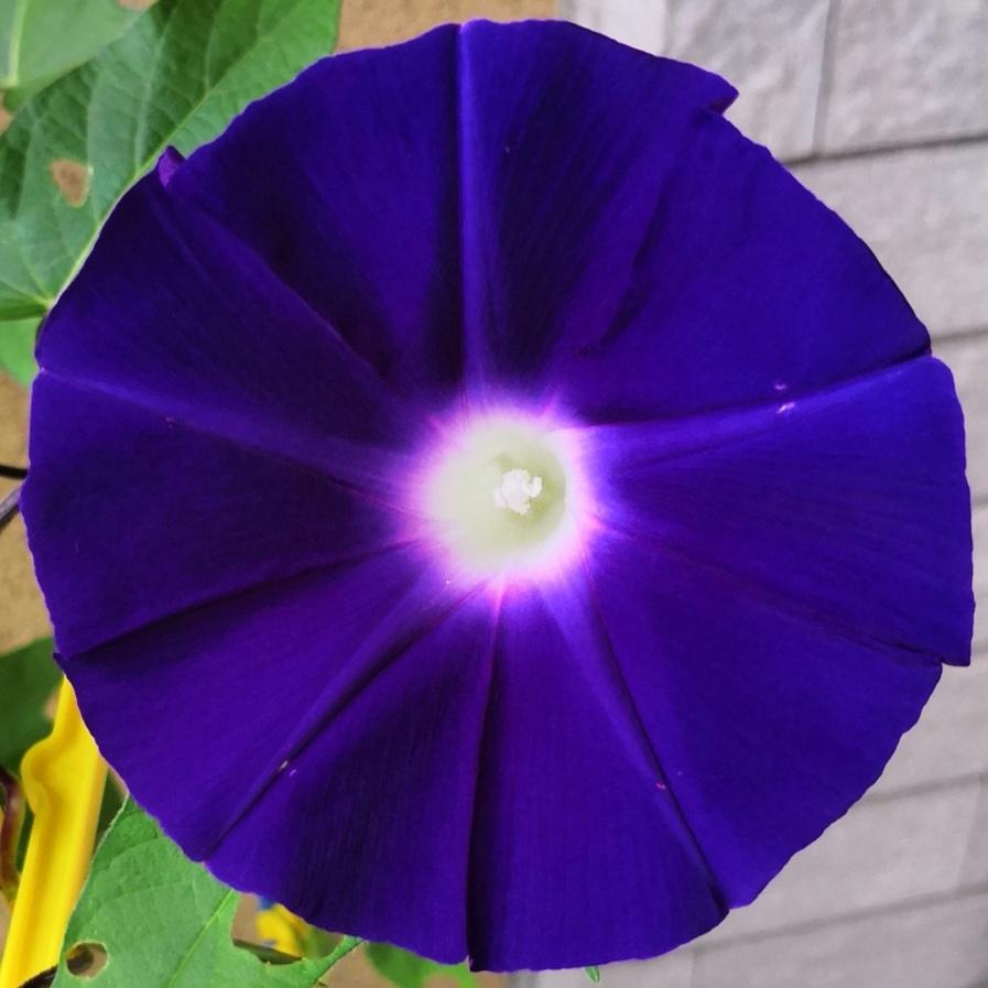 今日の #アサガオ #青紫 #水色_a0004752_06403519.jpg