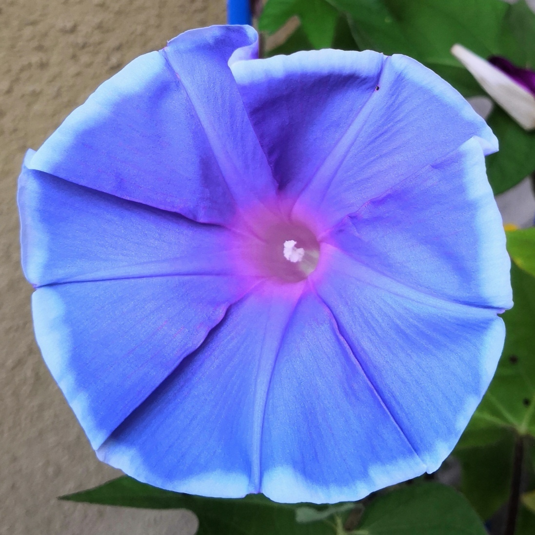 今日の #アサガオ #青紫 #水色_a0004752_06423108.jpg