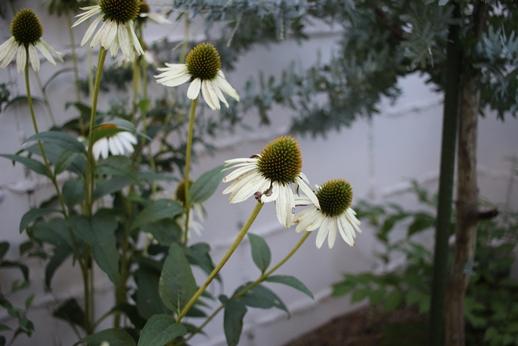 元気な夏の花_d0291758_22363048.jpg