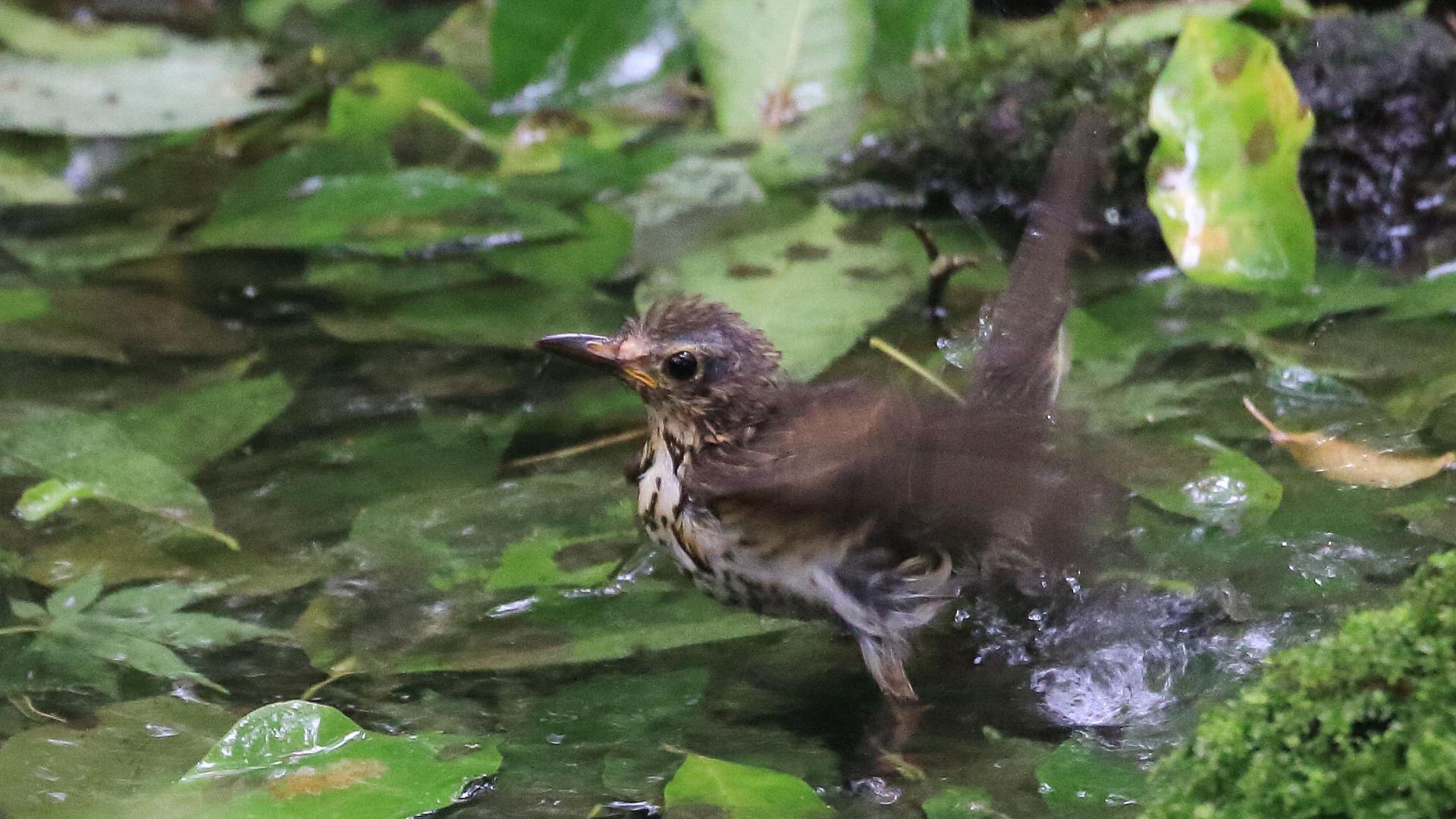 クロツグミ家族に逢えました!最後は水浴び大好き綺麗好きのメス幼鳥_f0105570_20432302.jpg