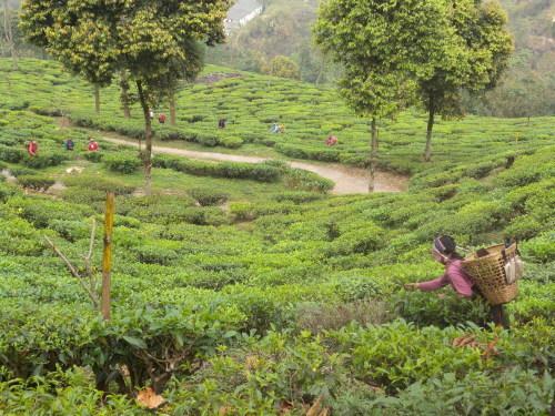 インド紅茶の話 ダージリンティー(2)_b0158721_09522699.jpg
