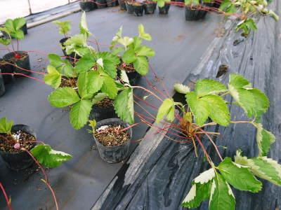 熊本いちご『熊紅』 苗床の様子を現地取材!(2020) 9月中旬の定植に向け元気に苗が成長していました!_a0254656_18540162.jpg