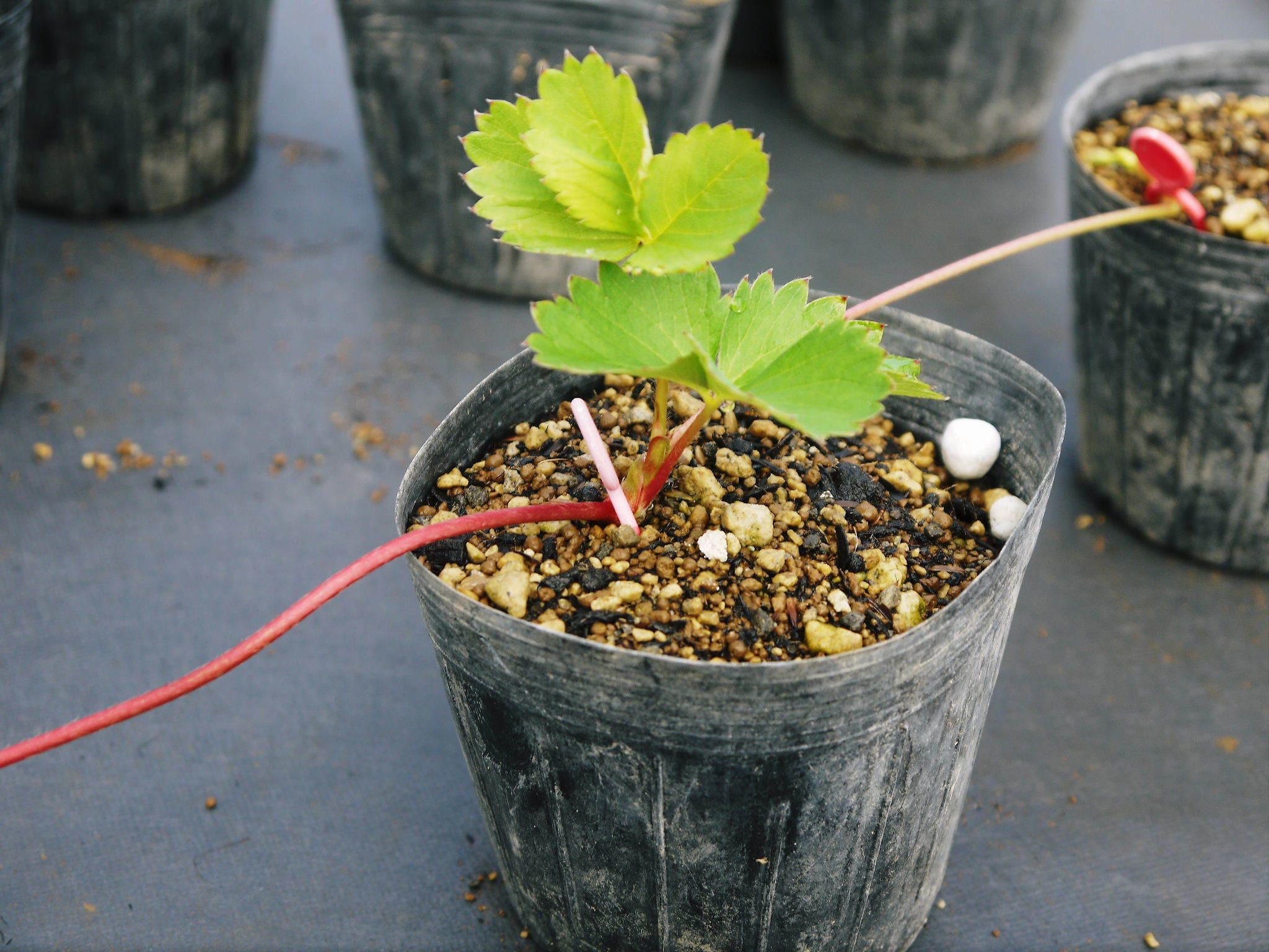 熊本いちご『熊紅』 苗床の様子を現地取材!(2020) 9月中旬の定植に向け元気に苗が成長していました!_a0254656_18565357.jpg