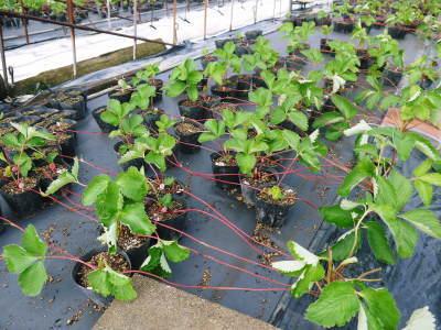 熊本いちご『熊紅』 苗床の様子を現地取材!(2020) 9月中旬の定植に向け元気に苗が成長していました!_a0254656_18585357.jpg
