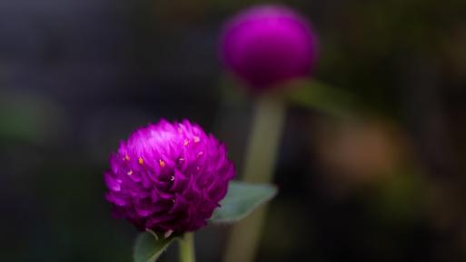 千日紅の花ことばを調べてみた。_f0051464_17023904.jpg