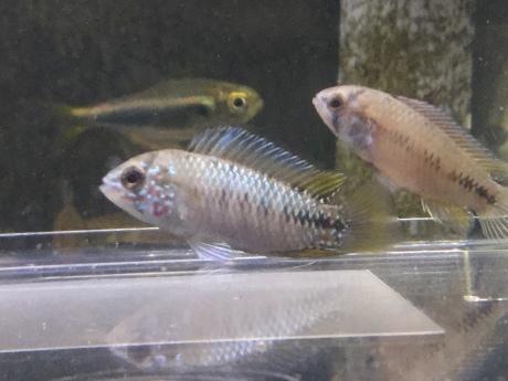 200806 熱帯魚 めだか 金魚 水草_f0189122_12581056.jpeg