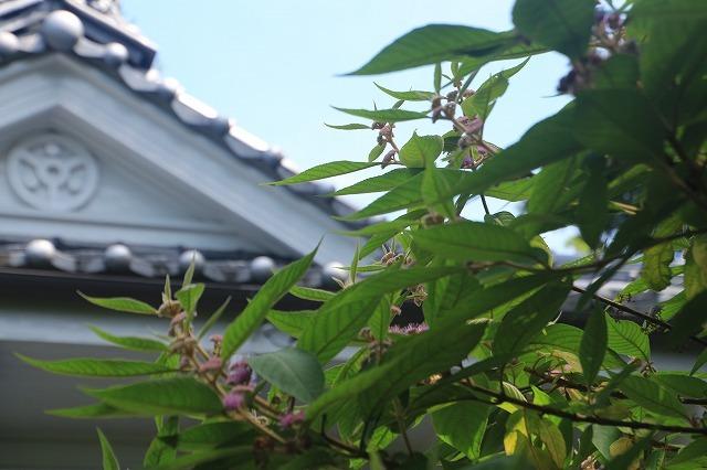 咲き誇るビロードムラサキの花(撮影:7月21日)_e0321325_11394853.jpg