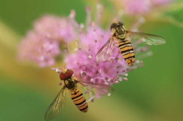 咲き誇るビロードムラサキの花(撮影:7月21日)_e0321325_11405899.jpg