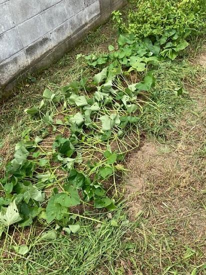 A町の話<梅雨明け前の菜園は>_f0002248_14490860.jpg