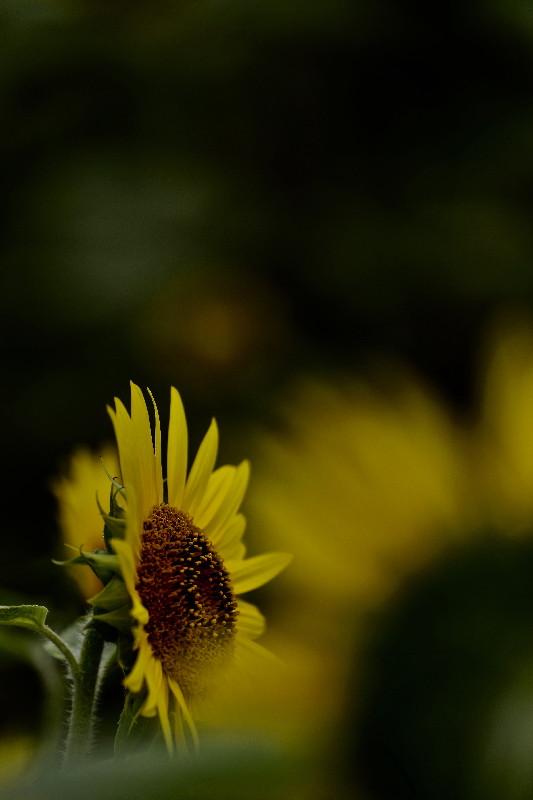 夏の花ヒマワリ・・・その②_e0071967_8445310.jpg