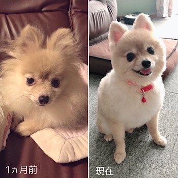 HOGO犬ひらり♡ 「柴犬カット」に挑戦!!_f0249610_15434113.jpg