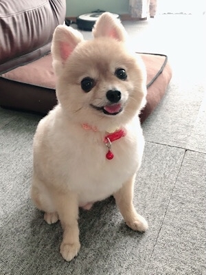 HOGO犬ひらり♡ 「柴犬カット」に挑戦!!_f0249610_15572162.jpg