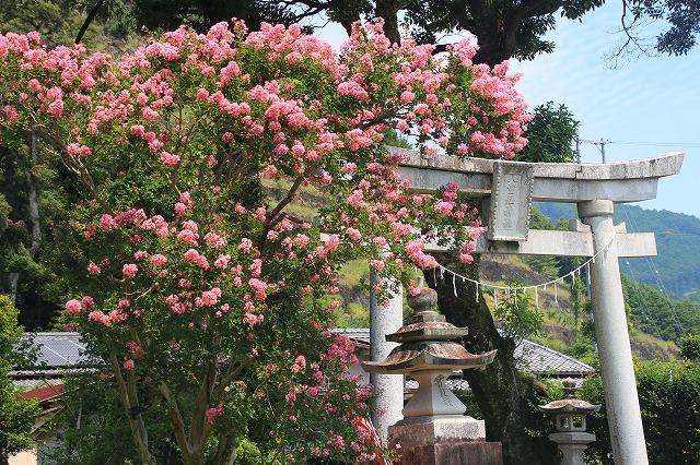 咲き誇る百日紅(八重垣神社)(撮影:8月5日)_e0321325_14133173.jpg