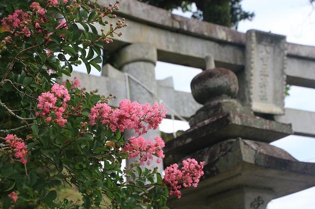 咲き誇る百日紅(八重垣神社)(撮影:8月5日)_e0321325_14151024.jpg